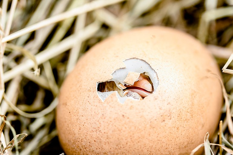 pollito-saliendo-del-huevo