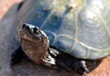 gran-tortuga-de-tierra