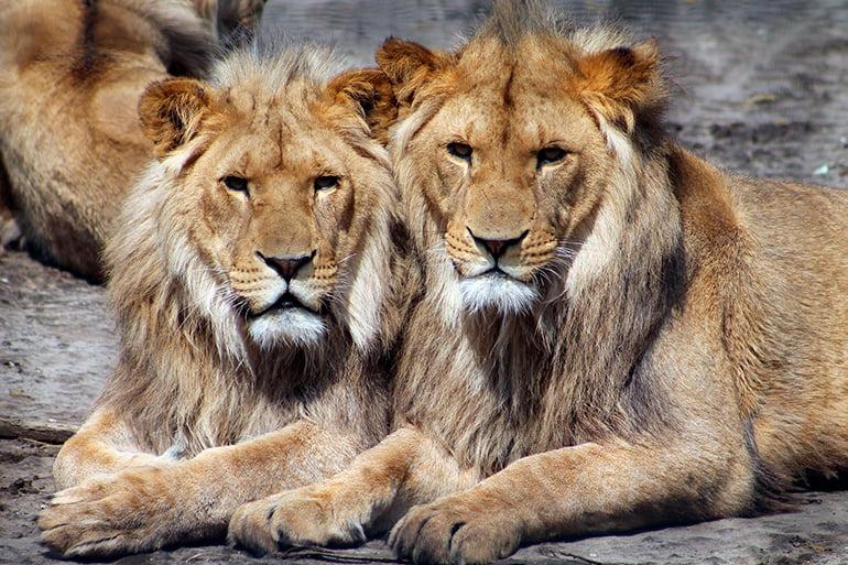 pareja-de-leones